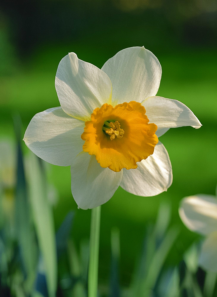 Close-up of a daffodil flower
