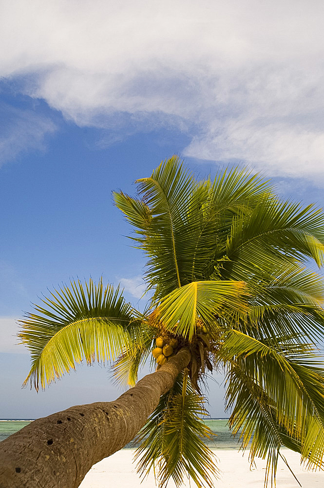 A palm tree leaning out over the white sands of Matemwe Beach, Zanzibar, Tanzania, East Africa, Africa