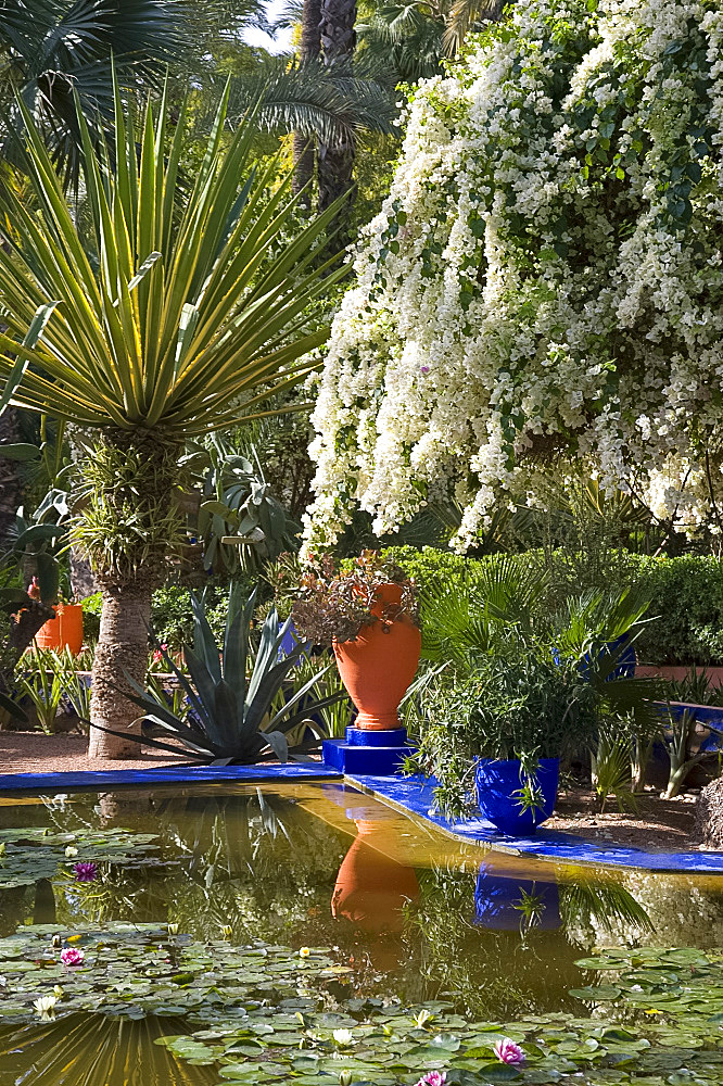 White bougainvillea cascading over an ornamental pond containing water lilies at the Majorelle Garden in Marrakech, Morocco, North Africa, Africa