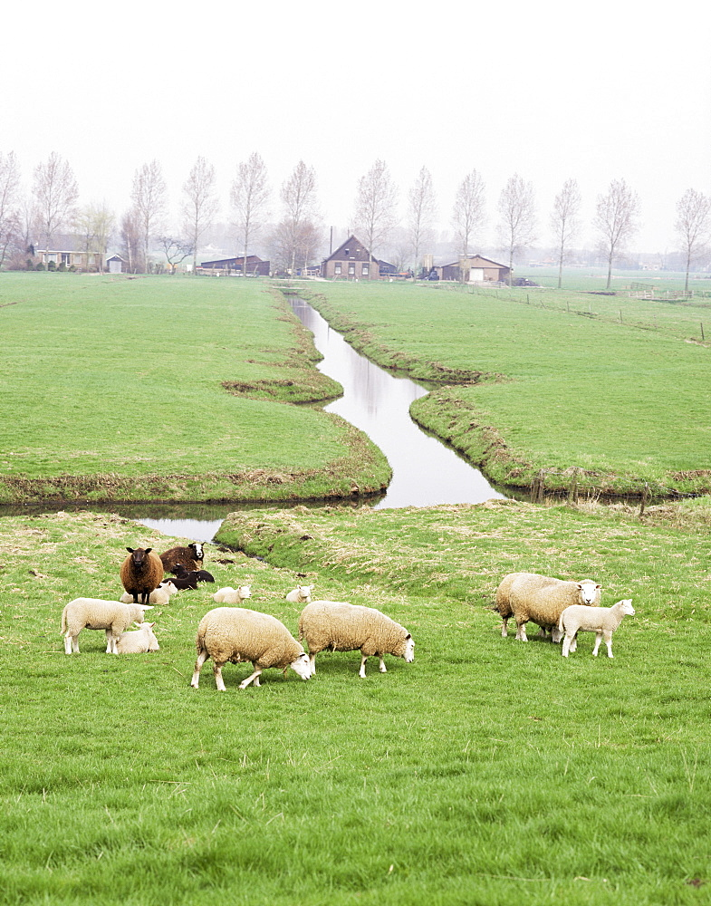 Sheep and farms on reclaimed polder lands around Amsterdam, Holland, Europe