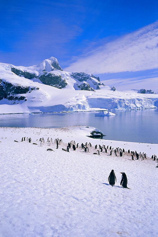 Gentoo penguins, Antarctic Peninsula, Antarctica