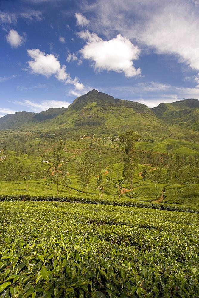 Tea estates in the Tea Hills, near Nuwara Eliya, Hill Country, Sri Lanka, Asia