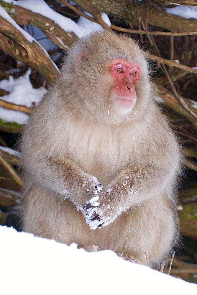 Japanese macaque (Macaca fuscata) (snow monkey), Joshin-etsu National Park, Honshu, Japan, Asia - 252-11275