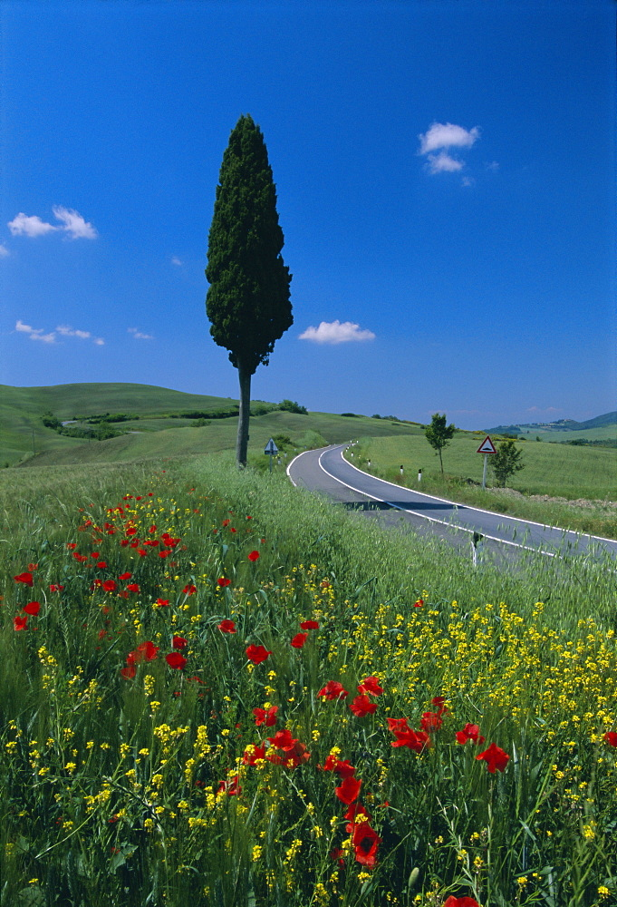 Wild flowers and cypress tree beside a country road near Volterra, Tuscany, Italy, Europe - 252-5244