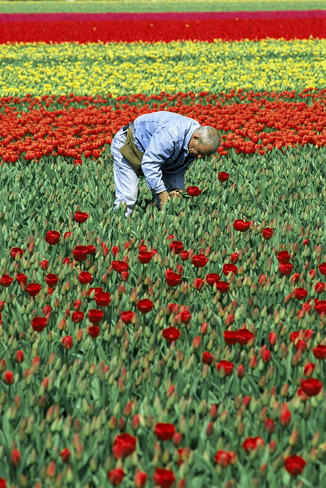 Man working in tulip fields, near Keukenhof, Holland, Europe