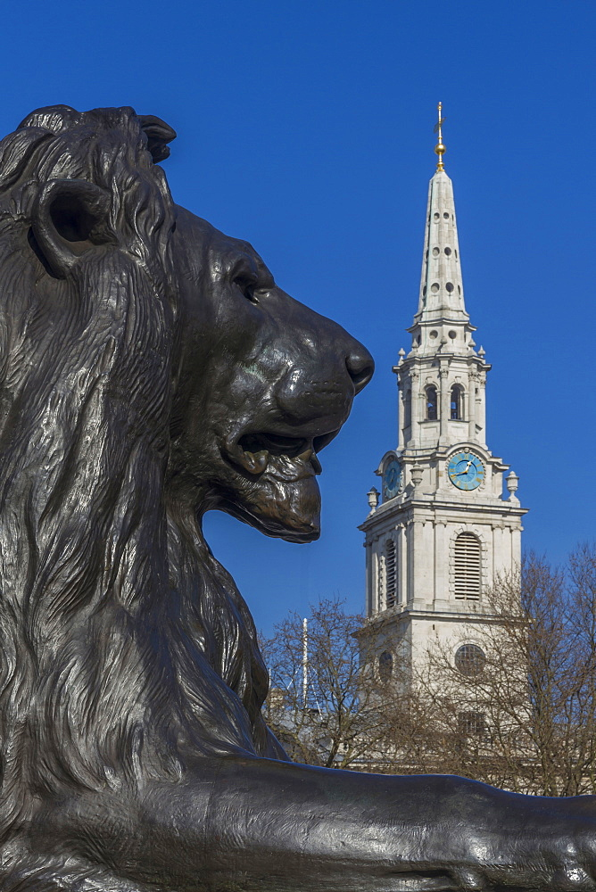 Lion at foot of Nelson's column and St. Martin-in-the-Fields church, Trafalgar Square, London, England, United Kingdom, Europe