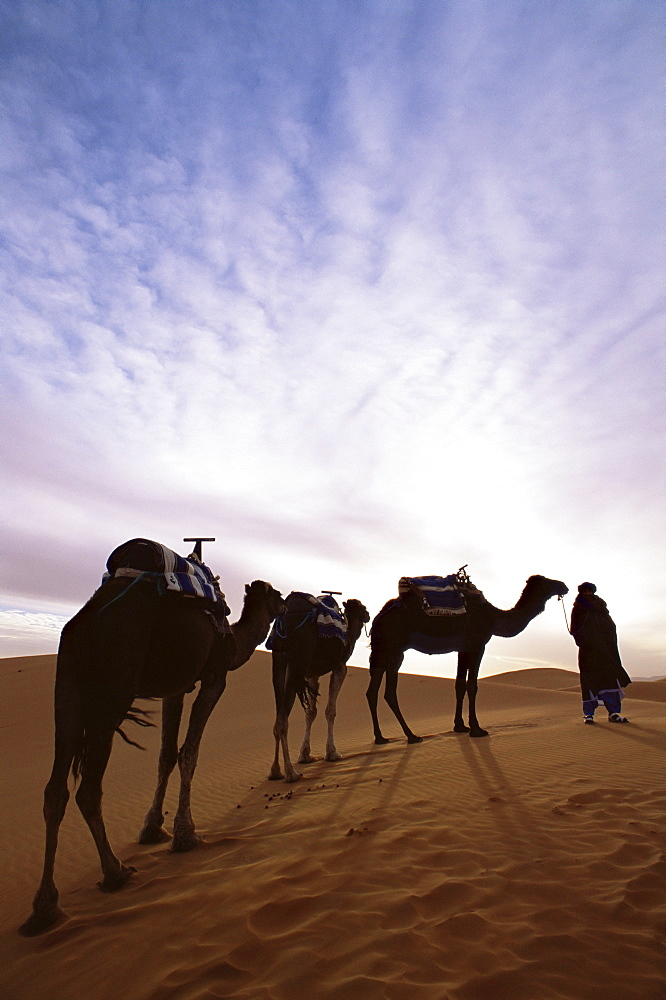 Berber camel leader with three camels in Erg Chebbi sand sea, Sahara Desert, near Merzouga, Morocco, North Africa, Africa