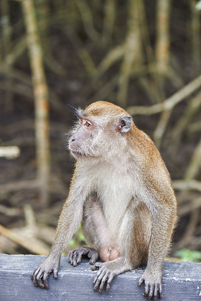 Long-tailed macaque on roadside in a mangrove forest, Langkawi, Malaysia, Southeast Asia, Asia - 358-587