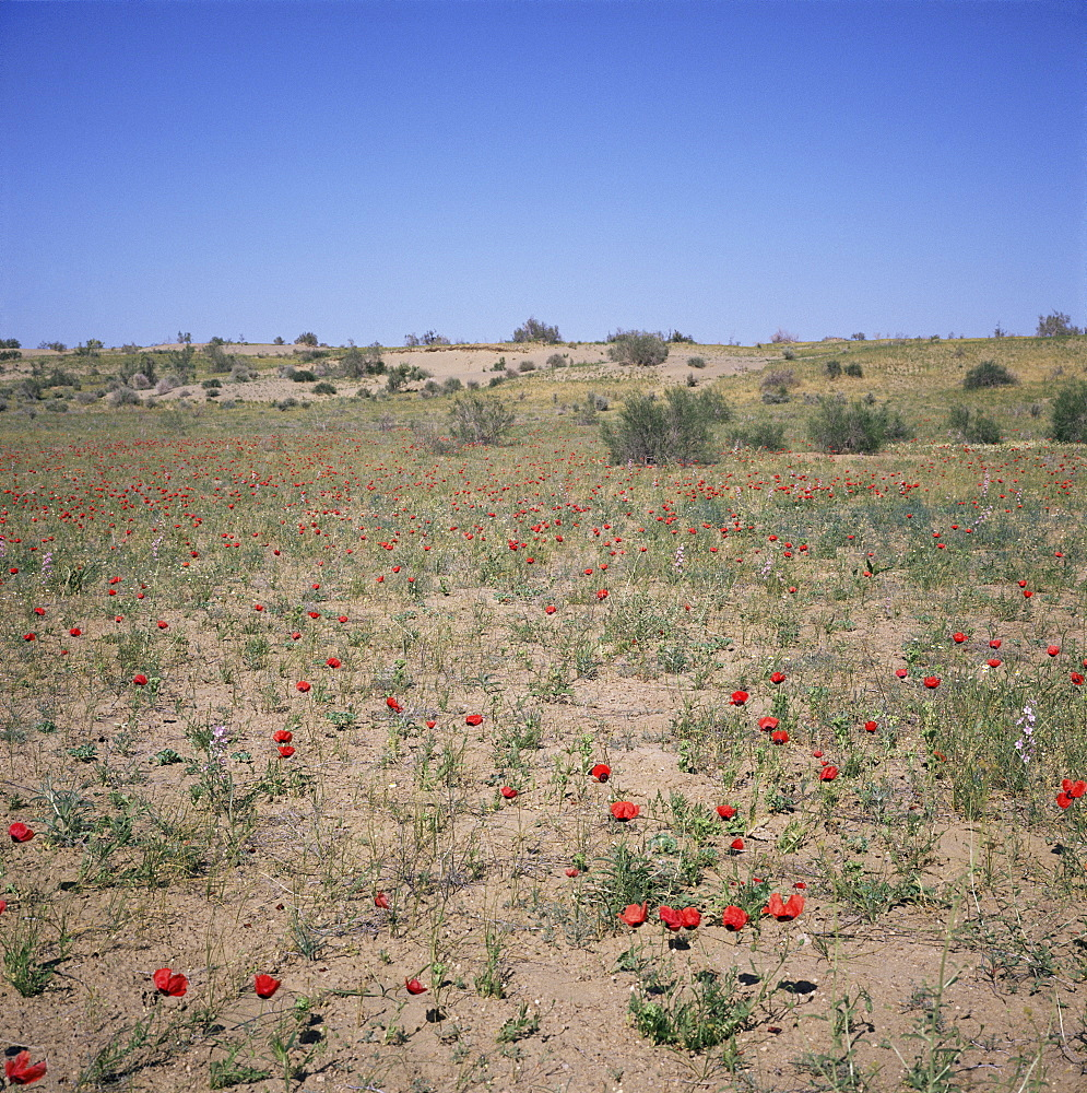 Poppies flowering in the desert for a few days each spring, Kara Kum desert, Uzbekistan, C.I.S., Central Asia, Asia