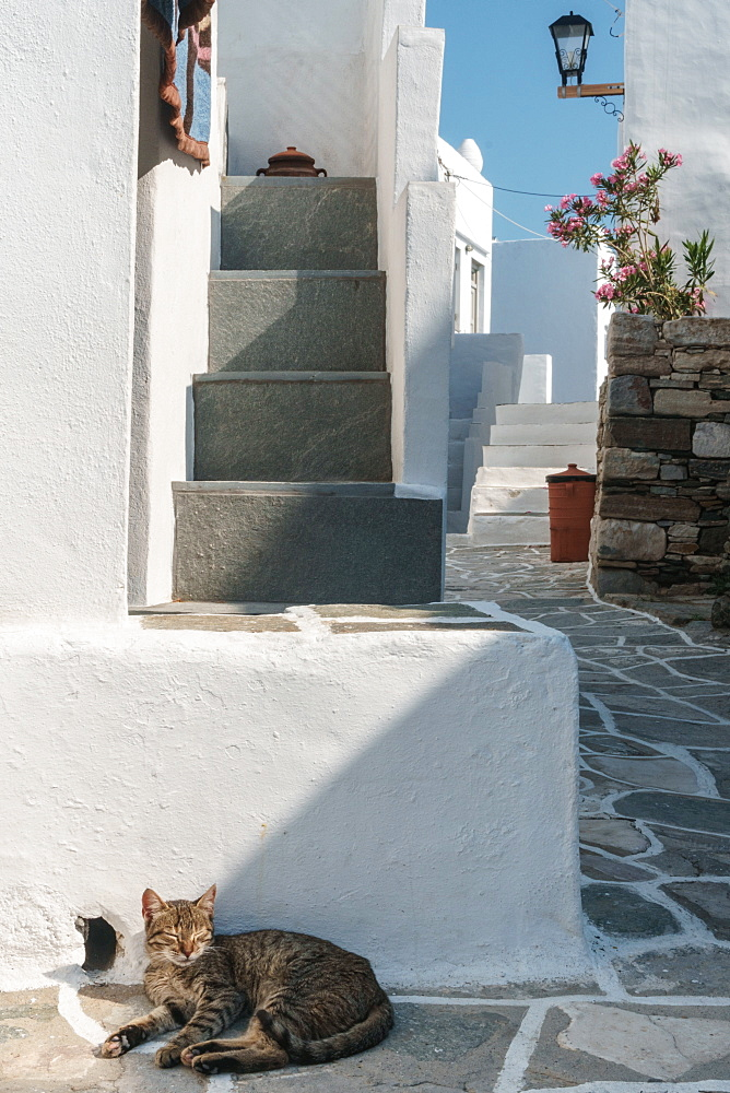Cat basking in the sun by traditional white Greek houses, Kastro Village, Sifnos, Cyclades, Greek Islands, Greece, Europe - 450-4234