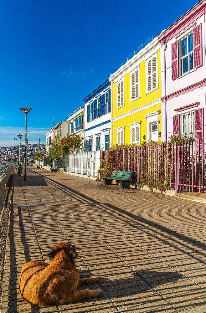 Brightly coloured clapboard houses on Paseo Atkinson with dog in foreground, Valparaiso, UNESCO World Heritage Site, Chile, South America - 450-4253