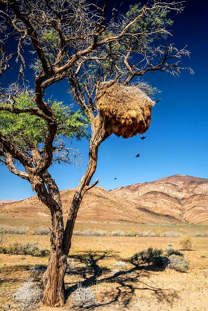 Nest of sociable weaver birds (philetairus socius) high up in a tree with mountains in background, Namib-Naukluft, Namibia, Africa