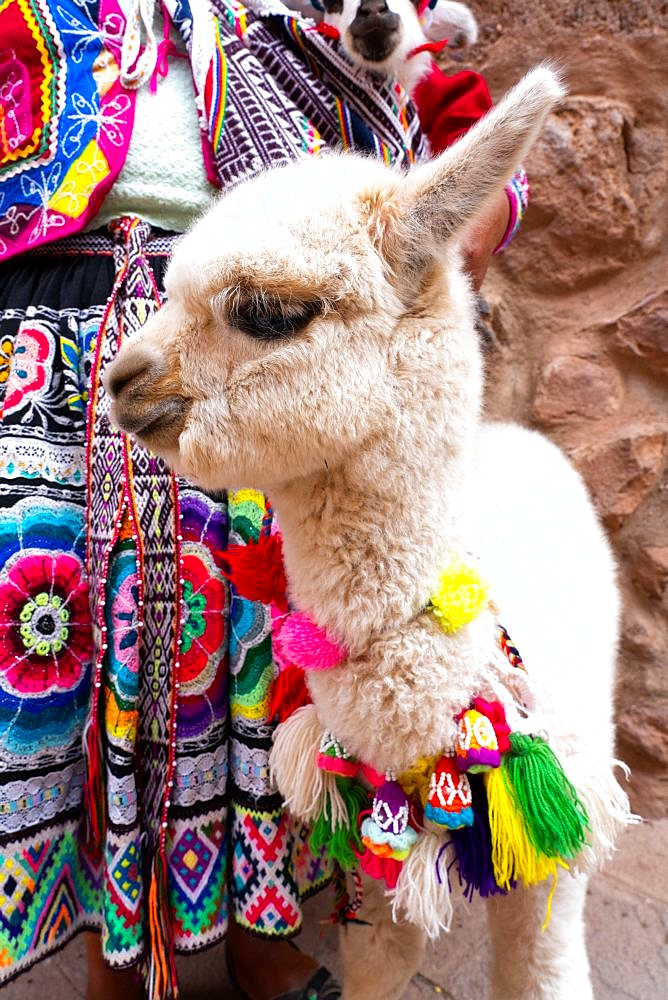 Baby alpaca led by local woman in colourful traditional dress, Pisac market, Sacred Valley, Peru