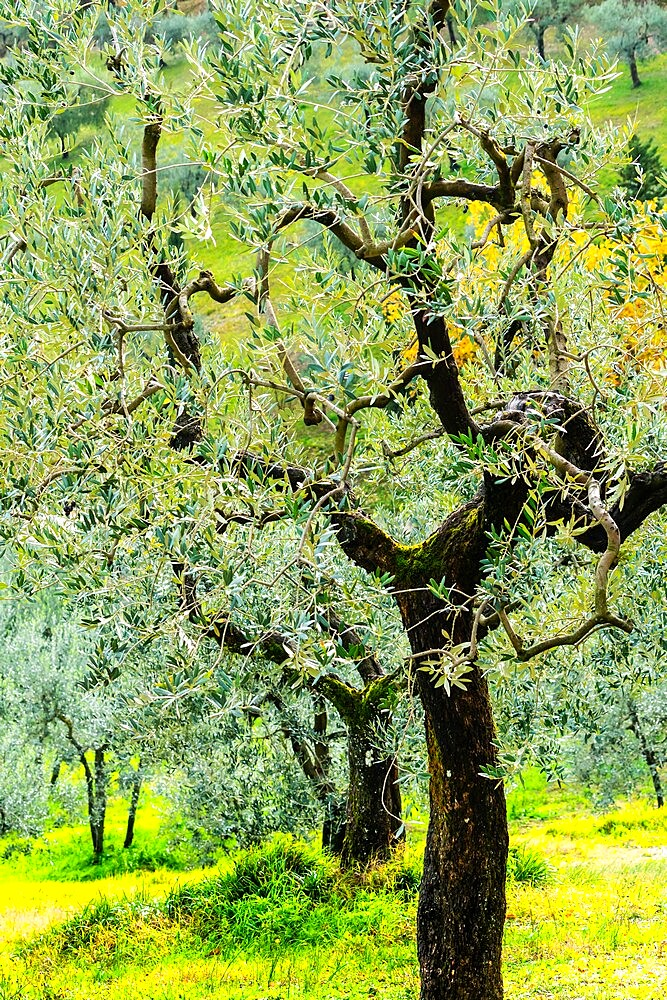 Bright shades of green sunlit olive trees and grass in Autumn after the rain, Greve in Chianti, Tuscany, Italy - 450-4453