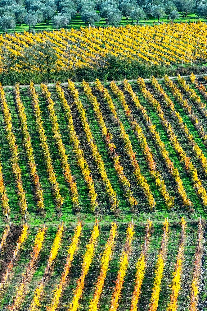 Patterned lines of vineyards in Autumnal colours in afternoon light, backed by olive groves, Giobbole, Tuscany, Italy - 450-4464