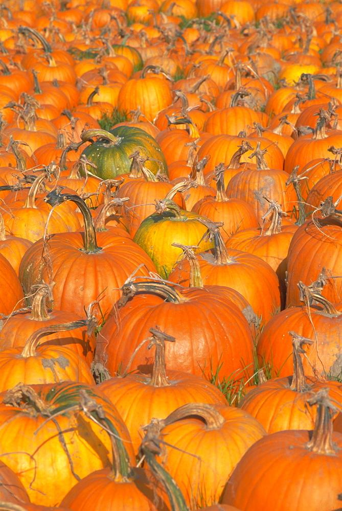 Pumpkins for sale, Vermont farm, Vermont, New England, USA, North America