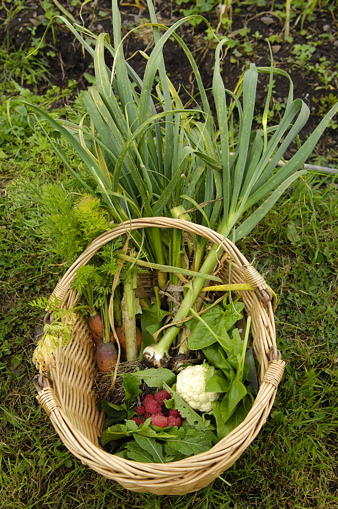 Basket of vegetables grown on an allotment, England, United Kingdom, Europe