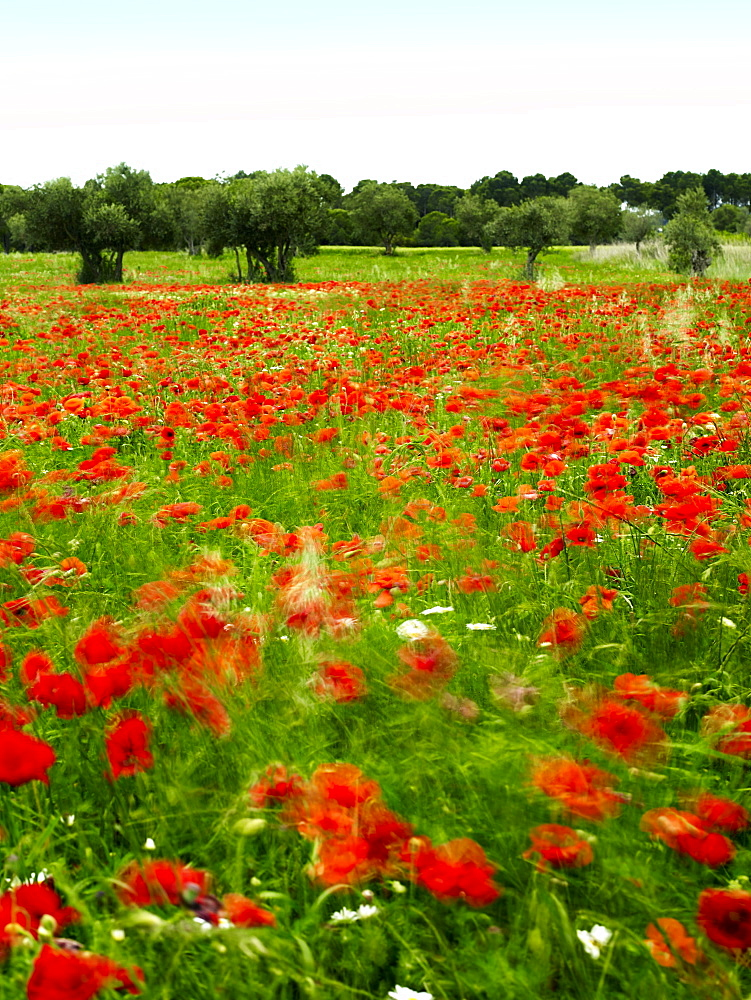 Poppy field, Figueres, Girona, Catalonia, Spain, Europe  - 627-1285