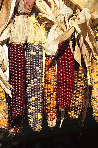 Indian ornamental corn, The Hamptons, Long Island, New York State, United States of America, North America