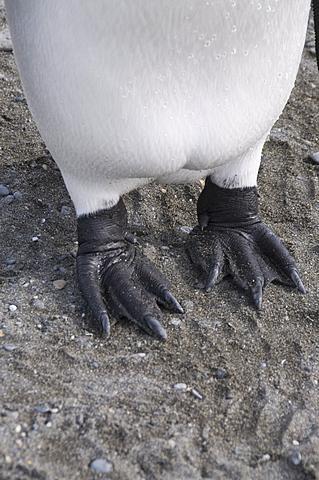 King penguin's feet, St. Andrews Bay, South Georgia, South Atlantic