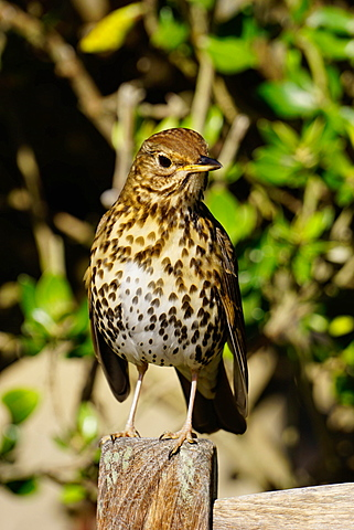 Thrush, Isles of Scilly, England, United Kingdom, Europe