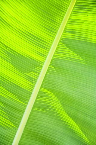 Leaf in rainforset, Tortuguero National Park, Costa Rica