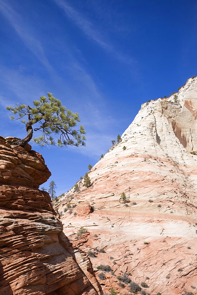 Ponderosa pine tree, Zion National Park in autumn, Utah, United States of America, North America