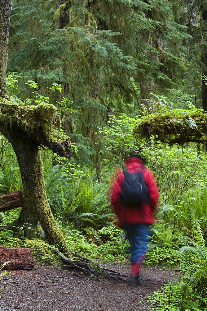 Walker in Quinault Rain Forest, Olympic National Park, Washington State, United States of America, North America
