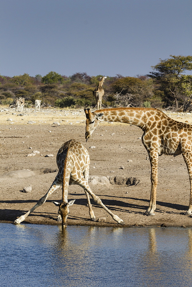 Giraffe (Giraffa Camelopardalis), mother watching baby drink, Etosha National Park, Namibia, Africa