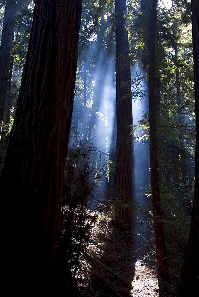 Redwood forest, Ventana, Big Sur, California, United States of America, North America