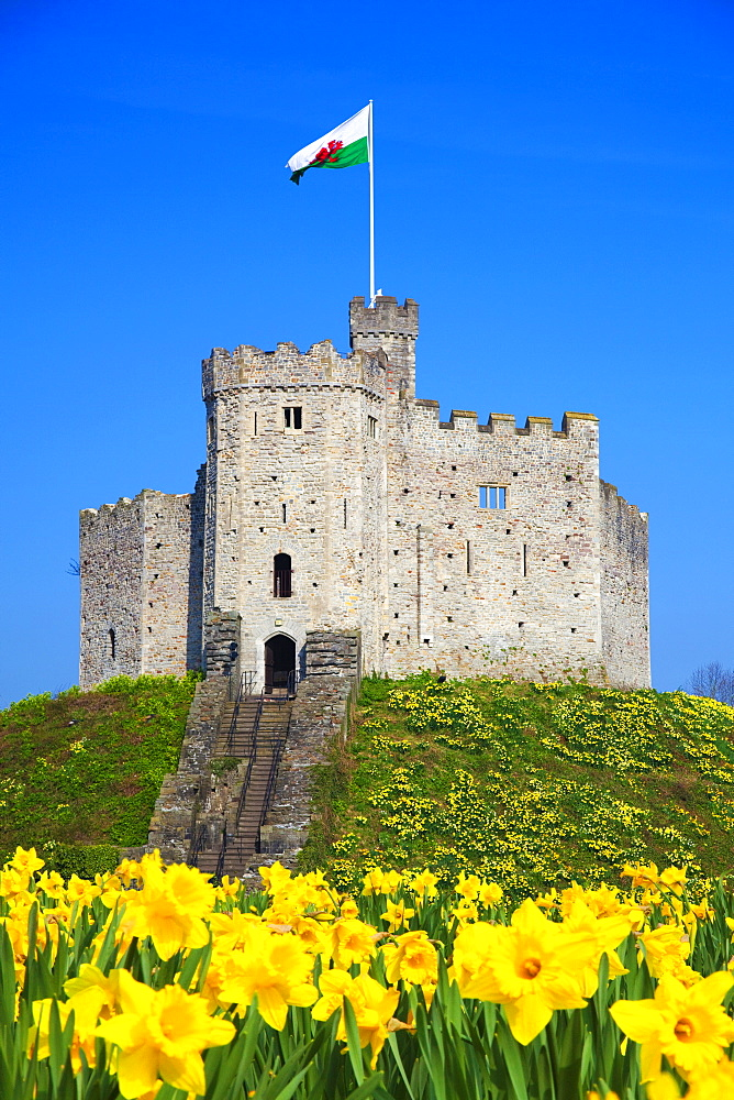 Norman Keep Castle, Daffodils, Cardiff Castle, Wales, UK - 696-836