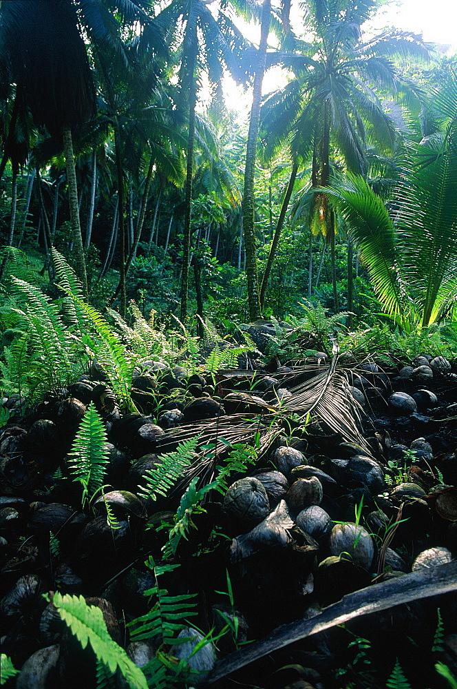 French Polynesia, Marquesas Archipelago, Nuku-Hiva Island, Taipi Vai Valley, Coconut Palm Plantation