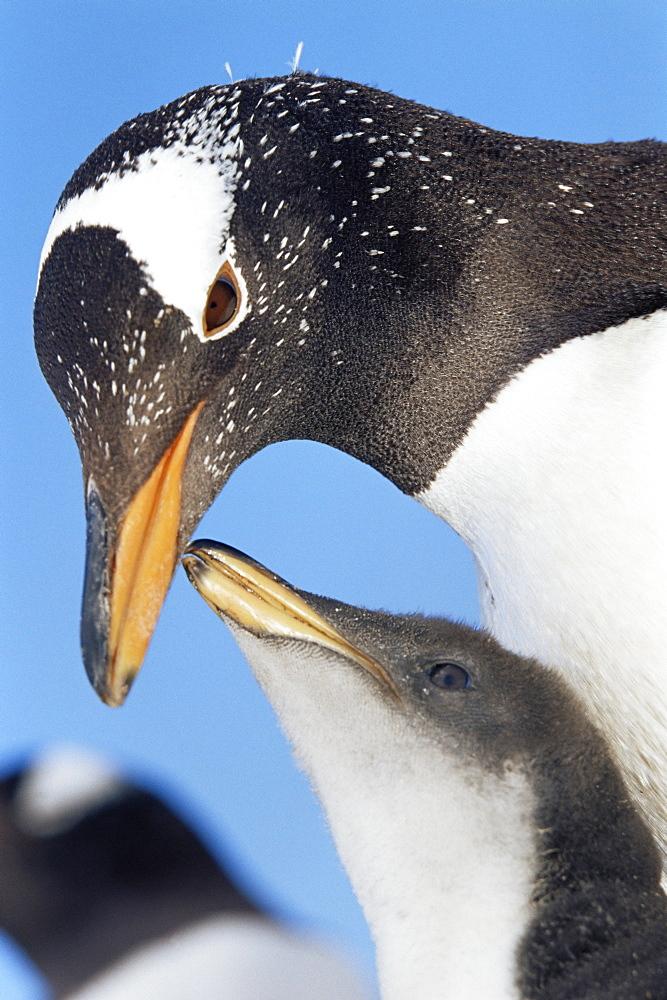 An adult gentoo penguin (Pygoscelis papua papua) looking at his chick, Sea Lion Island, Falkland Islands, South Atlantic, South America