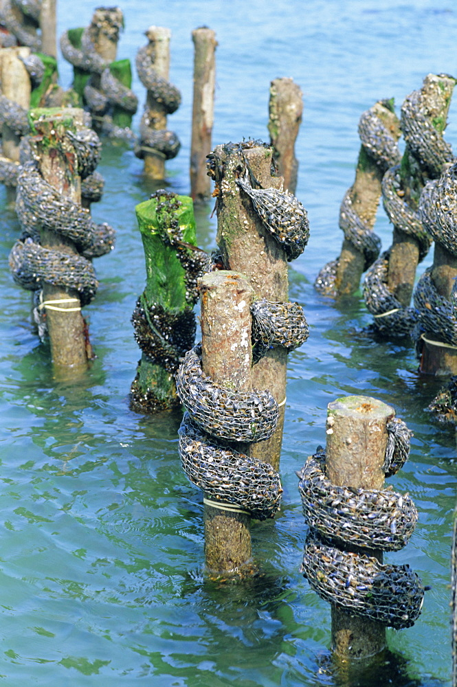 Mussel farming, south coast of the Ile de Noirmoutier, Island of Noirmoutier, Vendee, France