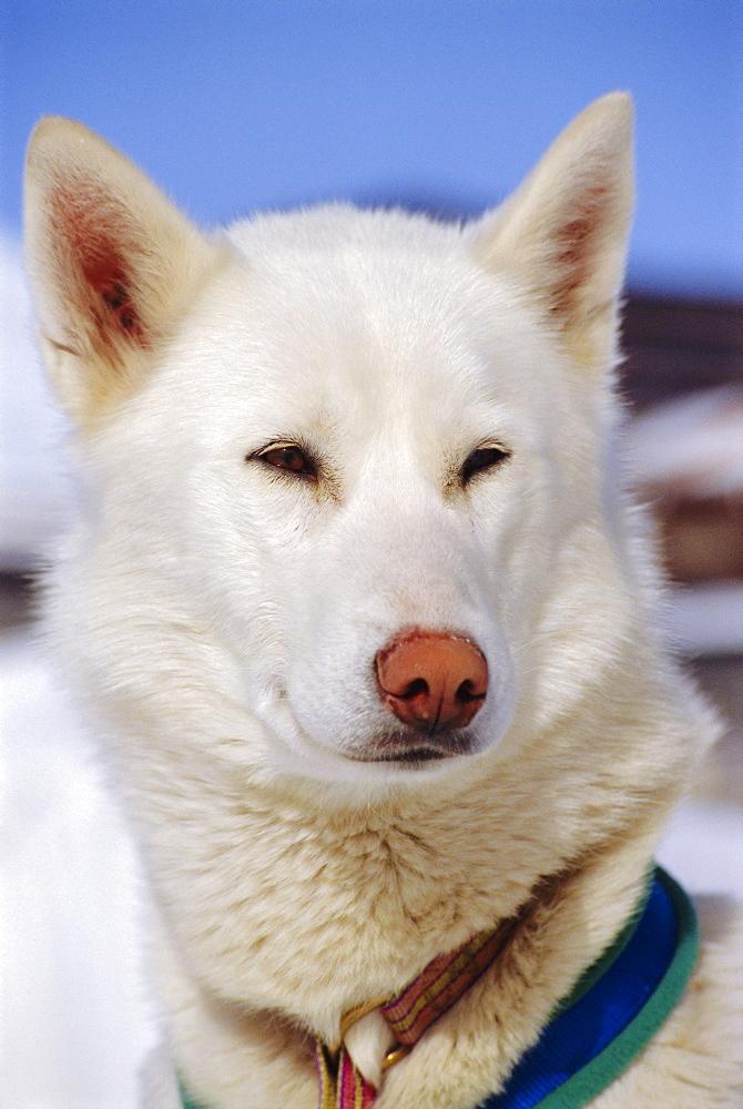 White husky dog, Alps, France - 728-1480