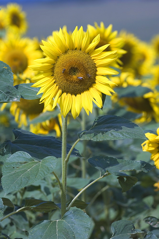 Sunflower, Provence, France - 728-2733