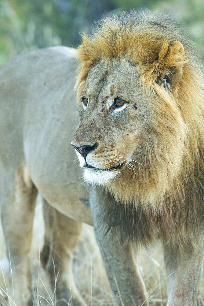 Male lion (Panthera leo), Etosha National Park, Namibia, Africa