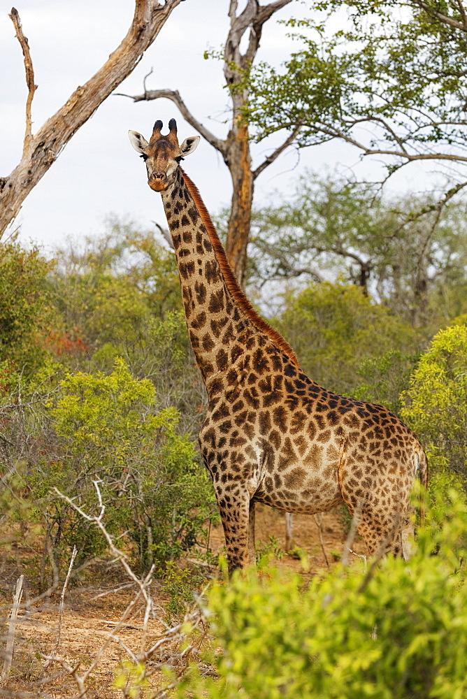 Giraffe (Giraffa camelopardalis), Mkhaya Game Reserve, Swaziland, Africa