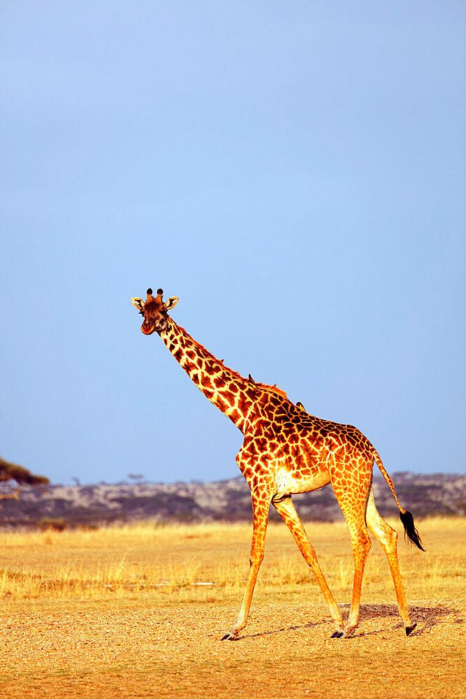 East Africa, Tanzania, safari in the Serengeti National Park, Unesco World Heritage site, giraffe (Giraffa camelopardalis)