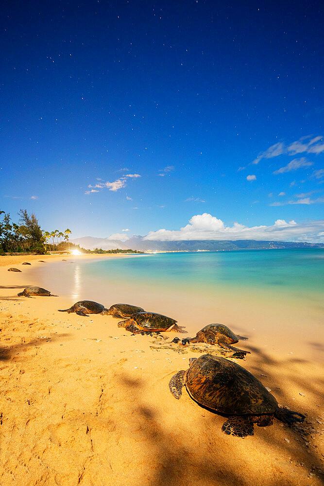 United States of America, Hawaii, Maui island, Greenback turtle (Chelonia mydas) on Baldwin Beach