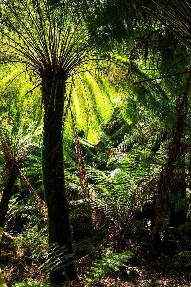 Soft tree-fern (Dicksonia antarctica), Great Otway National Park, Victoria, Australia, Pacific - 737-734