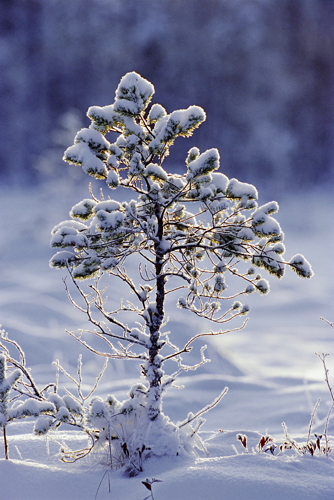Young Scots pine covered in snow in winter, Abernethy, Strathspey, Scotland, UK, Europe