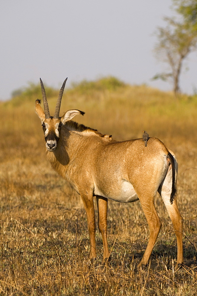 Roan antelope and oxpecker, Busanga Plains, Kafue National Park, Zambia, Africa