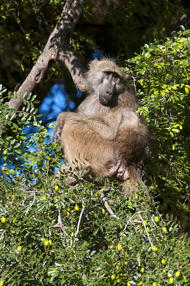 Chacma baboon (Papio ursinus), Mashatu Game Reserve, Botswana, Africa