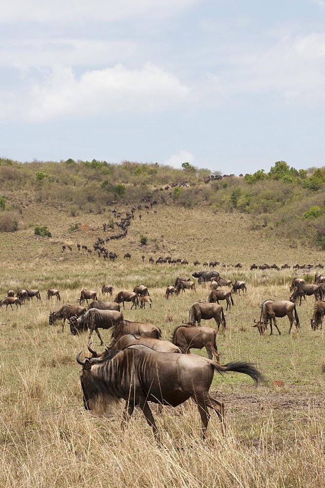 Wildebeest (Connochaetes taurinus), Masai Mara, Kenya, East Africa, Africa