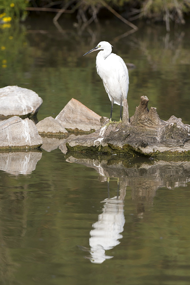 Little egret (Egretta garzetta), Camargue, Provence-Alpes-Cote d'Azur, France, Europe