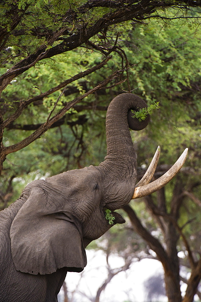 An African elephant (Loxodonta africana) browsing on tree leaves, Khwai Concession, Okavango Delta, Botswana, Africa