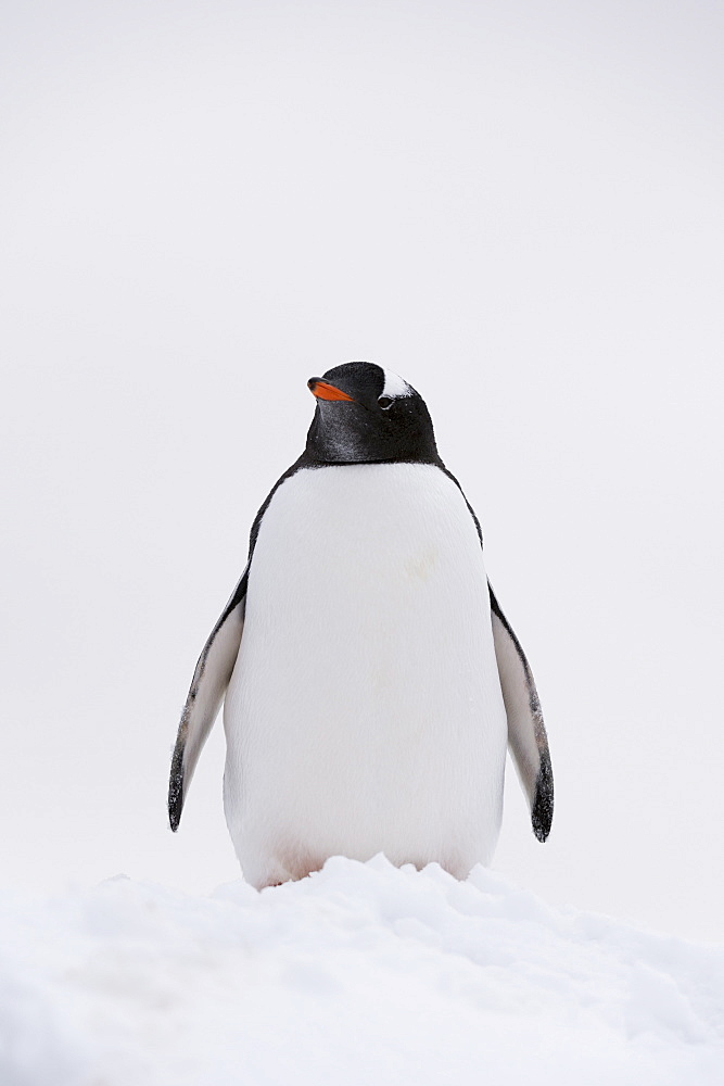 Portrait of a gentoo penguin (Pygoscelis papua), Petermann Island, Antarctica, Polar Regions