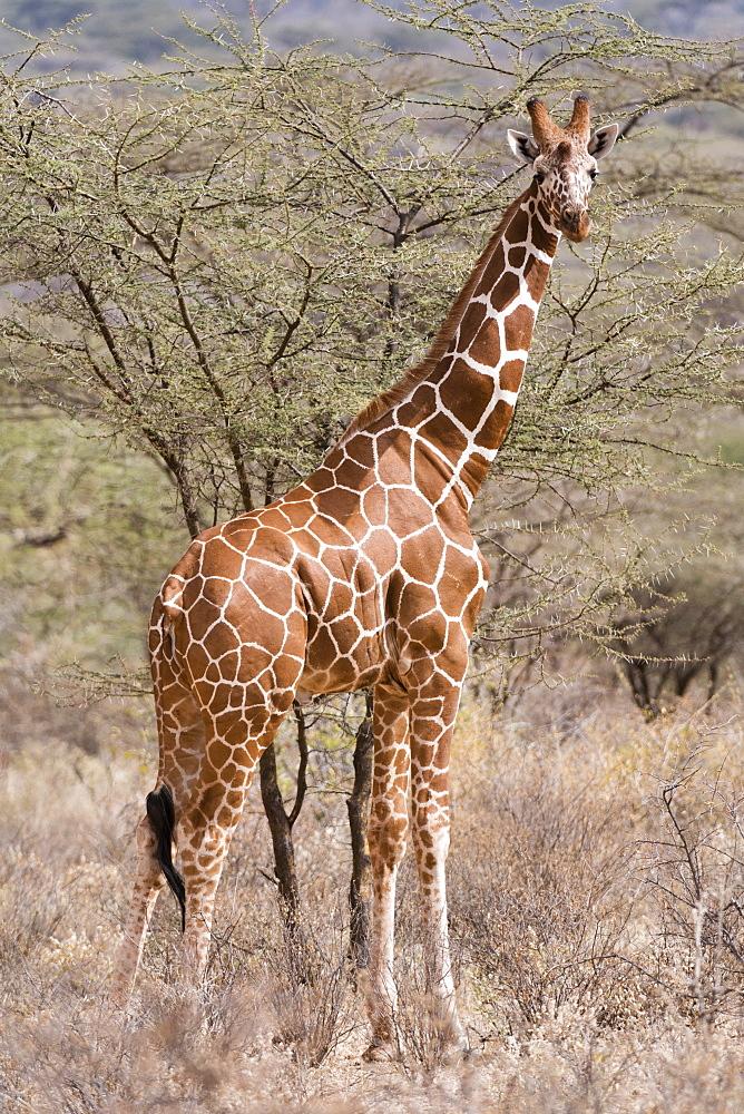 Reticulated giraffe (Giraffa camelopardalis reticulata), Kalama Conservancy, Samburu, Kenya, East Africa, Africa