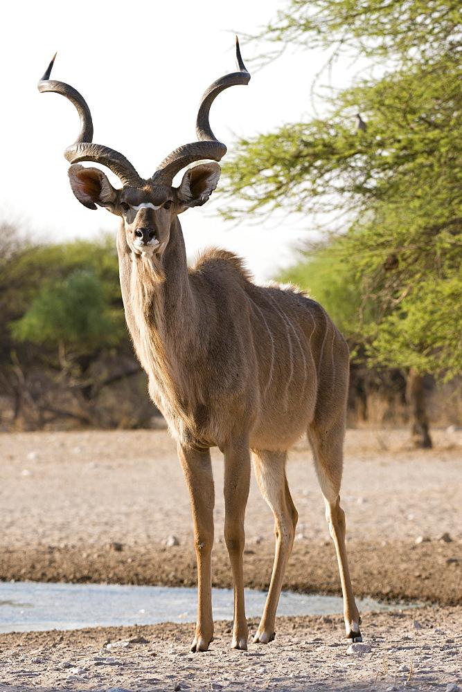 Greater kudu male, Tragelaphus strepsiceros, looking at the camera - 741-5255